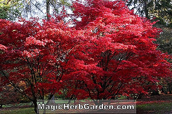 Acer palmatum (Red Pygmy Japanese Maple)