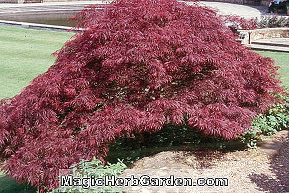 Planter: Acer Palmatum (Burgundy Lace Japanese Maple)