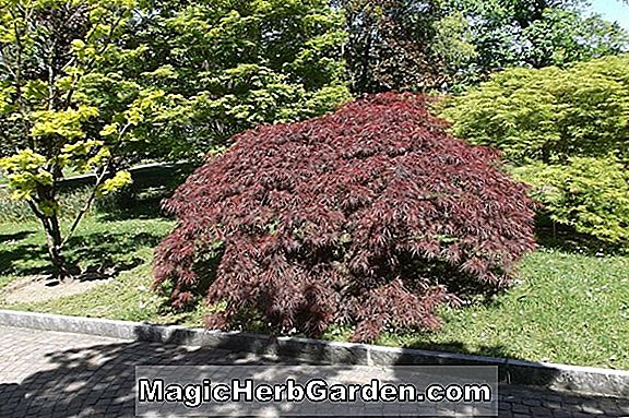 Acer palmatum (Butterfly Japanese Maple)