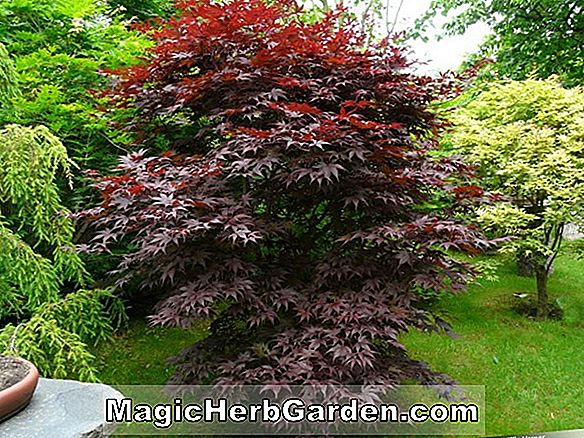 Acer palmatum (Bloodgood japansk Maple)