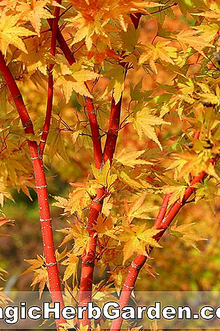 Planter: Acer palmatum (Corallinum Japanese Maple)