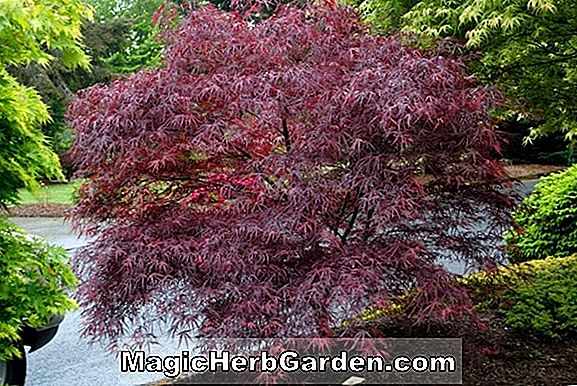Planter: Acer palmatum (japansk Maple)