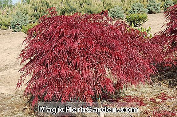 Acer palmatum dissectum (Crimson Queen Japanese Maple)