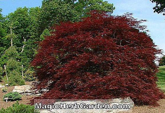 Acer palmatum dissectum (Ever Red Japanese Maple)