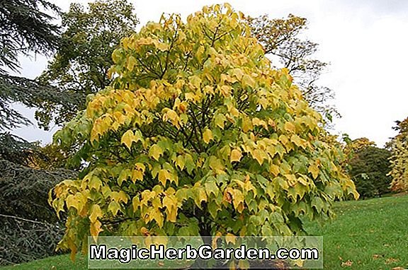 Acer pectinatum (Alice Maple)