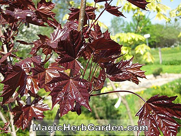 Acer platanoides (Fassen's Black Norway Maple)