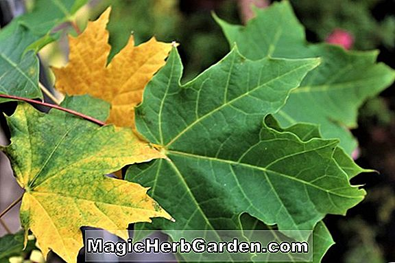 Acer platanoides (Lobergii Norway Maple)