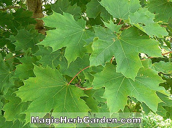 Planter: Acer platanoides (Norway Maple)