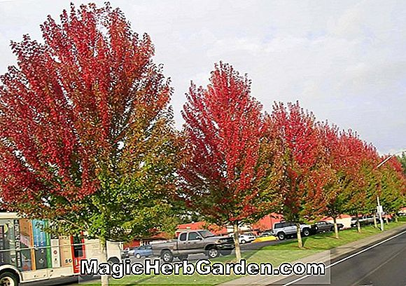 Acer rubrum (Red Sunset Red Maple)