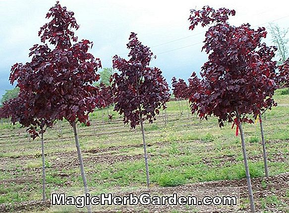 Acer rubrum (Shade King Red Maple)