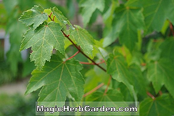 Planter: Acer rubrum (Red Maple)