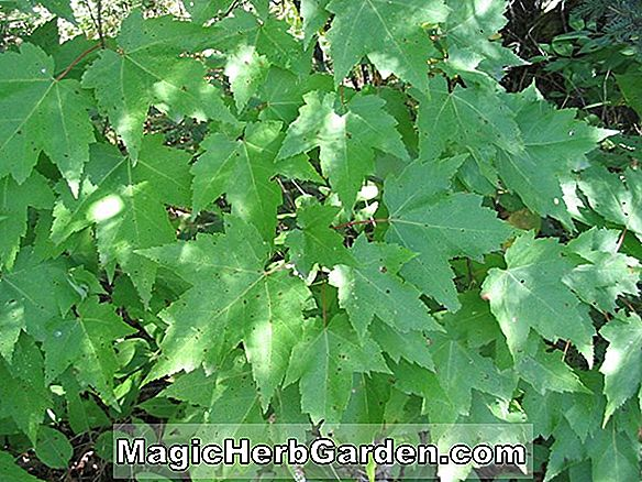 Acer rubrum (Woodlands Red Maple)