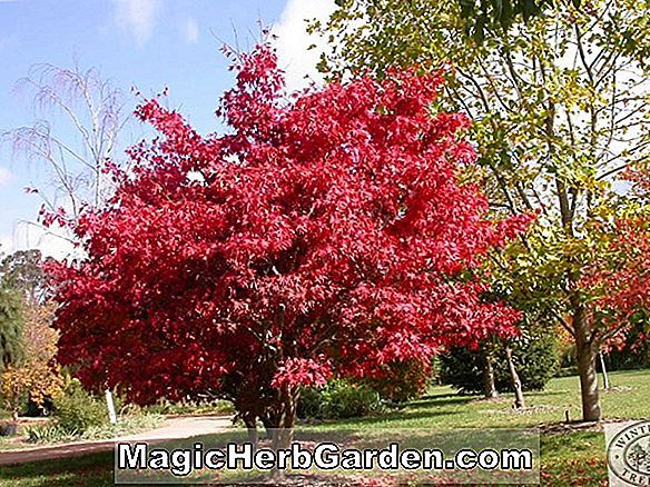 Plantes: Acer rubrum (Embers Red Maple)