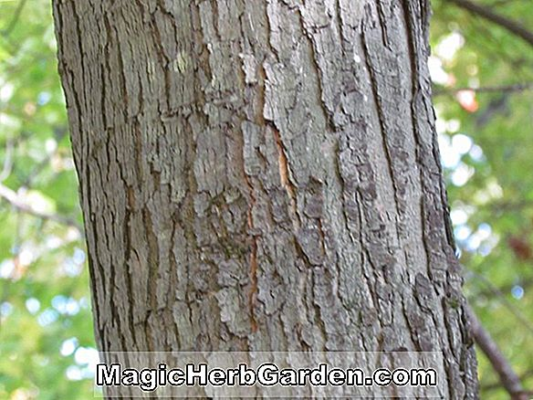 Acer rubrum (Gerling Red Maple)