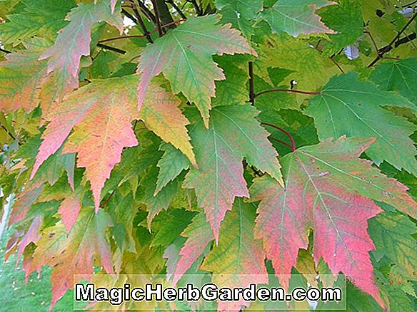 Acer rubrum (Bowhall Red Maple)