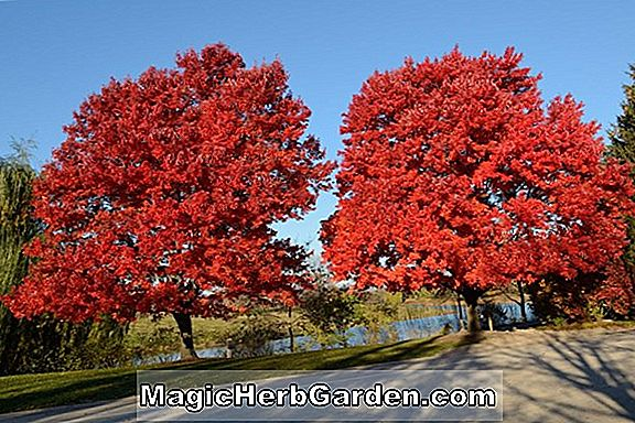 Acer rubrum (Autumn Glory Red Maple)