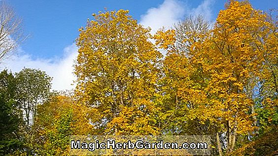 Acer saccharinum (Silver Queen Silver Maple)