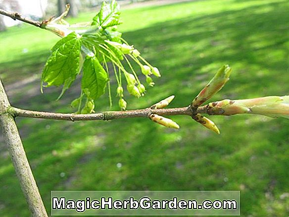 Planter: Acer saccharum (Bonfire Sugar Maple)