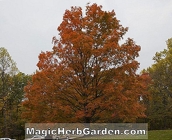 Acer saccharum (Summer Proof Sugar Maple)