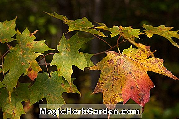 Acer saccharum (Cary Sugar Maple)