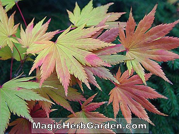 Acer Shirasawanum (Palmatifolium Maple)