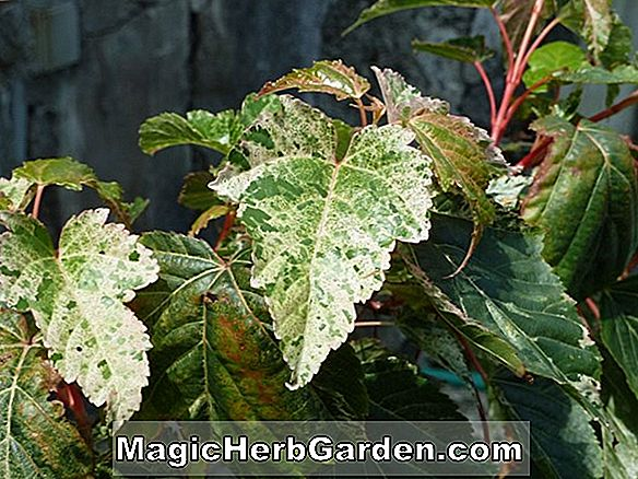 Acer x conspicuum (Silver Cardinal Maple)