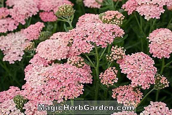Achillea (Salmon Beauty Yarrow)