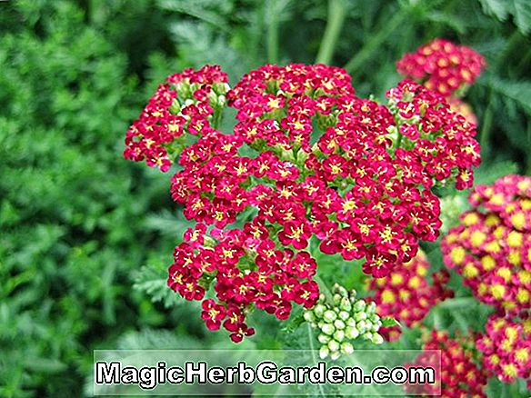 Planter: Achillea (Summer Wine Achillea)