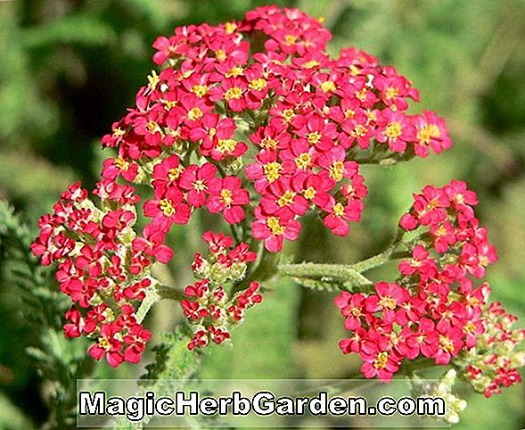 Planter: Achillea (The Beacon Achillea)