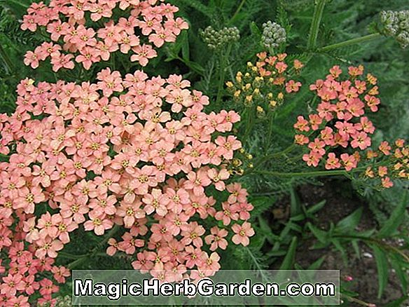 Achillea (Forncett Candy Yarrow)