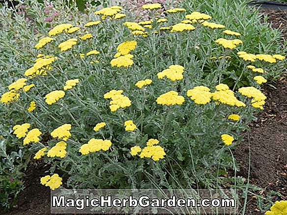 Planter: Achillea (Moonshine Yarrow)