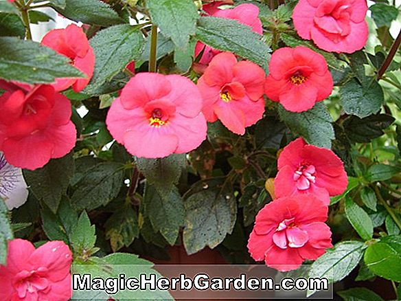 Planter: Achimenes (Little Beauty Hot Water Plant)
