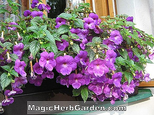 Achimenes harveyi (Hot Water Plant)