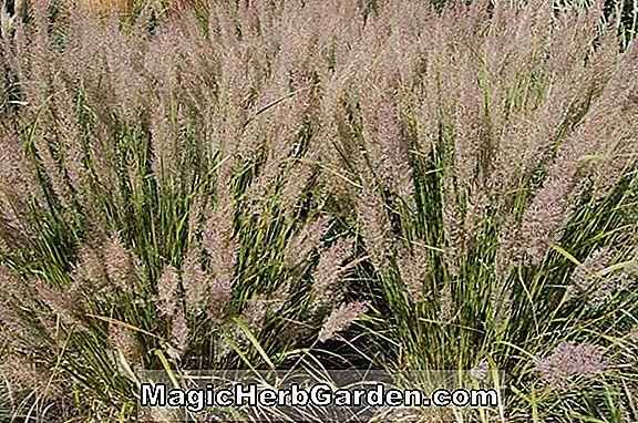 Achnatherum coronatum (Needle Grass)