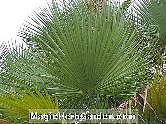 Planter: Acoelorrhaphe wrightii (Saw Palm)
