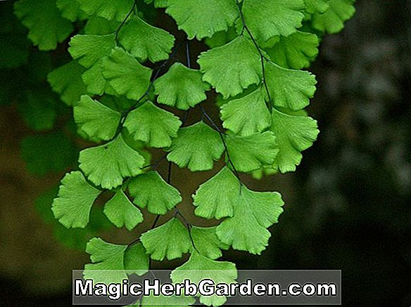 Adiantum aleuticum (Northern Maidenhair Fern)