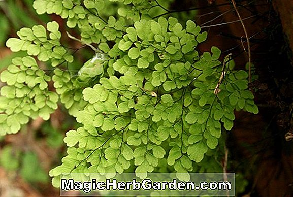 Planter: Adiantum cuneatum (Delta Maidenhair Fern)