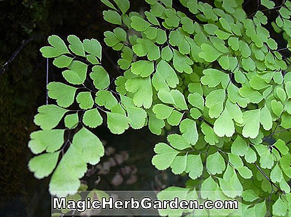 Adiantum raddianum (Goldelse Maidenhair Fern)