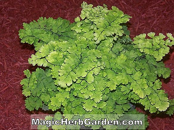 Planter: Adiantum raddianum (Pacific Maid Maidenhair Fern)