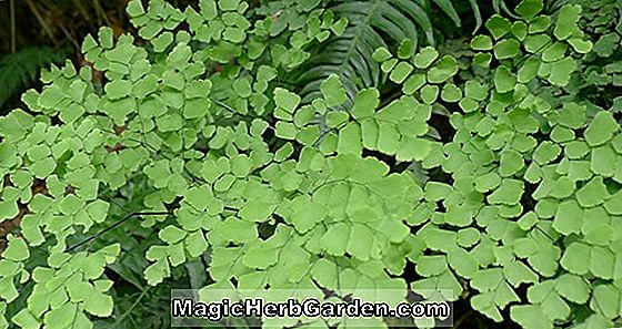 Adiantum tenerum (Fergusonii Maidenhair Fern)