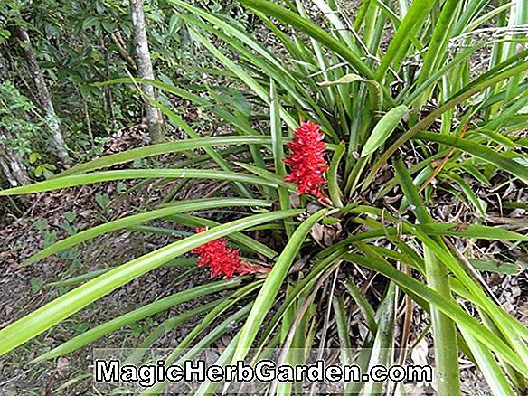 Aechmea amazonica (Amazon Bromeliad)