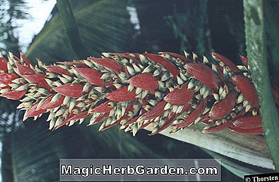 Aechmea dealbata (Whitish Bromeliad)