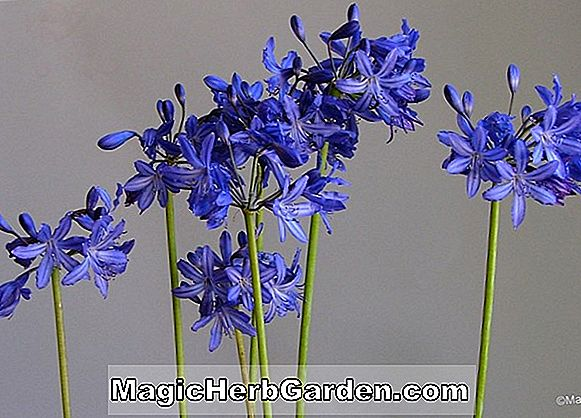 Agapanthus (Lilliput Dwarf Lily-of-the-Nile)