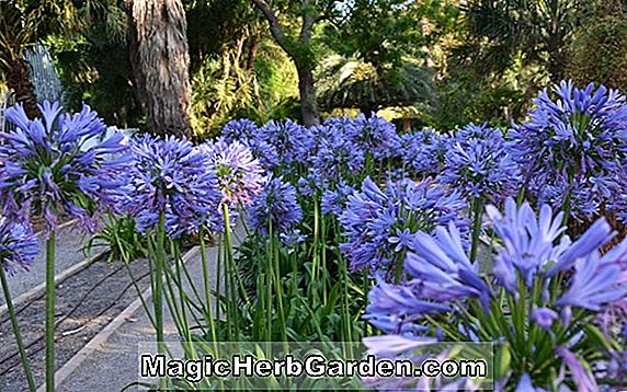 Planter: Agapanthus africanus (Lily-of-the-Nile)