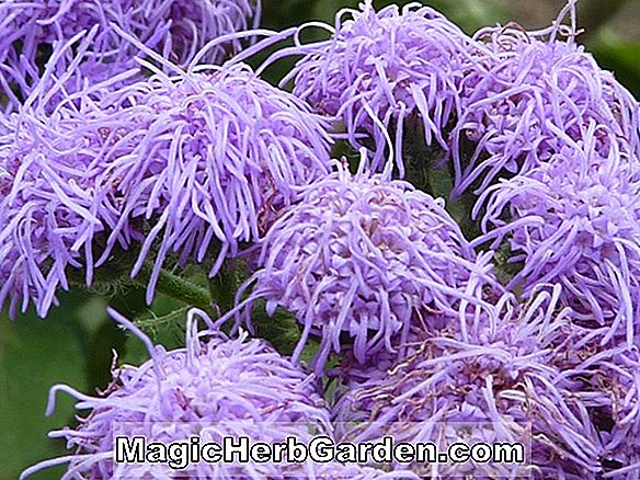 Planter: Ageratum houstonianum (White Push Floss Flower)
