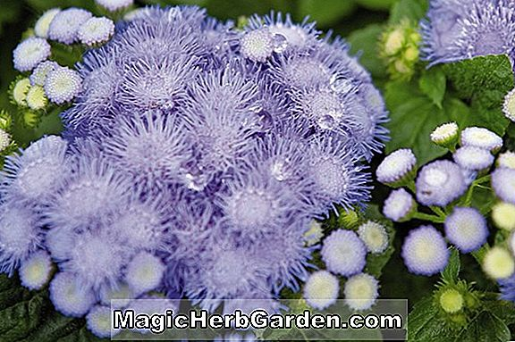 Ageratum houstonianum (Blue Blazer Floss Flower)