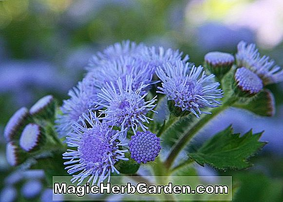 Planter: Ageratum houstonianum (Blue Horizon Floss Flower)