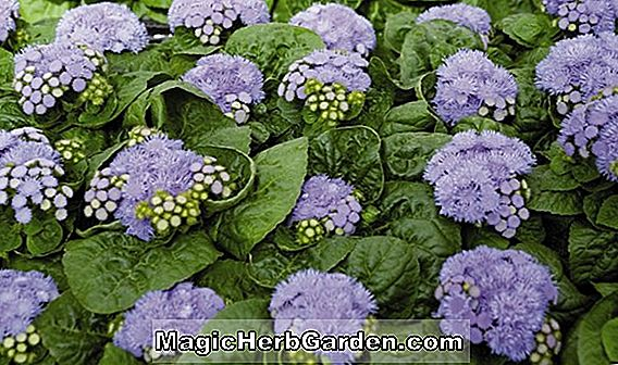 AGERATUM Mexican Ageratum (Floss Flower), Årlig Blomst