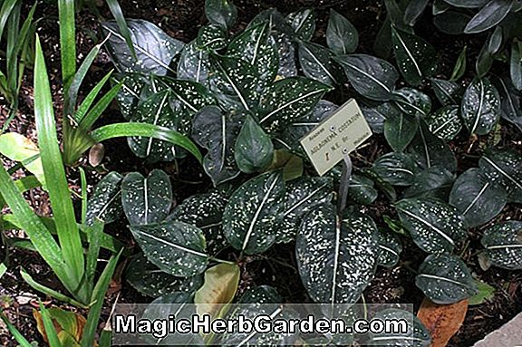 Aglaonema costatum (Malaysisk Evergreen)
