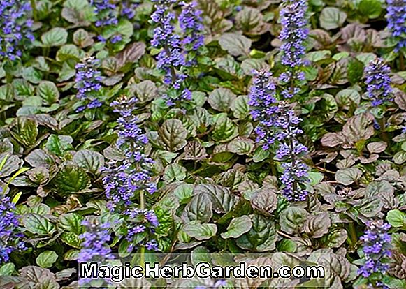 Planter: Ajuga reptans (Catlin's Giant Common Bugleweed)
